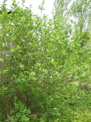 aronia prunifolia viking 01 35k. Black Bedroom Furniture Sets. Home Design Ideas